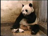 panda hapşırırsa ? ? bakın ne komik görüntü oluyor -