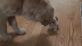 Oyuncak Köpeğe Ne Tepki Vereceğini Şaşıran Golden