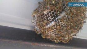 Eşek Arıları Saricarilar Yabani Saricarilari Eşek Arıları Hakkında Bilgiler Videoları