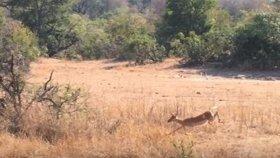 Leoparın İmpalaya Sürpriz Yapması