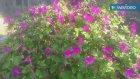 Kına çiçeği kına çiçekleri çayının yağının faydaları yararları nelerdir kına çiçeği hakkında bilgile