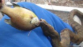 Balıkçının Elinden Balığı Alan Su Yılanı