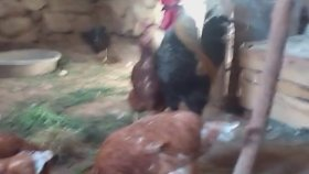 Horoz tavuk ciftlesmesi denizli horozun otusu sesi tavuk sesi tavuk horoz ciftlesmesi