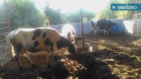 İnek yavruları buzağılari Hollanda ırkı süt inekleri videoları