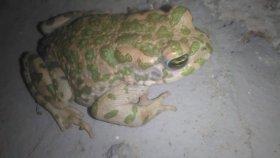Kurbağalar kurbağa videoları karada yaşayan kurbalar videoları
