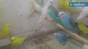 Muhabbet kuşları sultan papağanı kanarya sesleri bülbül sultan papağanı sesleri videosu