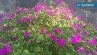 Kına otunun çiçekleri çayının yağının faydaları yararları nelerdir kına otunun hakkında bilgileri