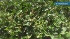 Köpek tilki üzümü faydaları & karpuz bitkisi karpuz meyvesinin faydaları yararları nelerdir