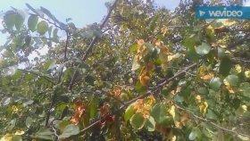 Karaçalı cesmezen çaltı dikeni sincer akdiken barut ateş ağacı aci çehre bitkisinin çayının aydasi