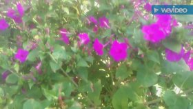 Kına çiçeği kına çiçekleri çayının yağının faydaları yararları nelerdir