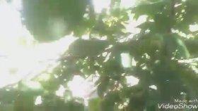 Ceviz ağacı ceviz yaprağı ceviz meyvesi ceviz yaprağı çayının faydaları yararları ceviz faydaları