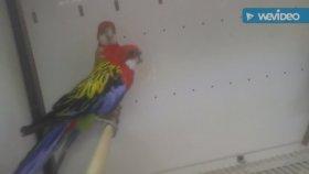 Muhabbet kuşları sultan papağanı kanarya sesleri bülbül sultan papağanı kanarya sesleri videosu