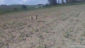 Köpek Havlamasi Köpek Sesi Köpek Urmesi Köpek Sesleri Videosu