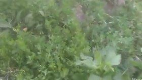 Sirken otunun faydaları yabani ıspanak faydaları doğadaki şifalı bitkiler sirken otunun yabani ıspan