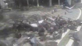 Yabani Güvercinler Güvercin Sesleri Güvercin Videosu Sesleri