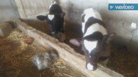 İnek yavruları sevimli buzağıların Hollanda ırkı süt inekleri videoları serçe sesleri kuş sesleri