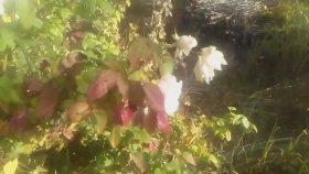 Gülün Gül Bitkisinin Gül Suyunun Faydaları Beyaz Gül Kırmızı Gül Kasım Gulunun Faydaları Yararları