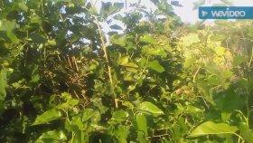 Dut ağacının yaprakları çayının faydaları yararları nelerdir & yalancı portakal ayı elması faydaları