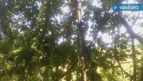Yabani erik çakal eriginin kara eriğin çayının yaprakları faydaları yararları nelerdir