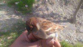 Serçe kuşları hakkında bilgiler dişi serçe kuşu videosu serçe kuşları hakkında tanıtım videosu
