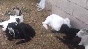 Keçi yavruları yavru oğlakların sesleri yavru oğlakların sesleri videoları