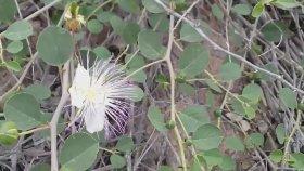 Kapari keper gebre gevil kapari bitkisinin turşusu faydaları yararları nelerdir