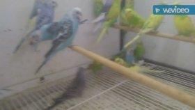 Kanarya muhabbet kuşları sultan papağanı bülbüllerin kuşların ötüşü bülbül sultan papağanı sesleri