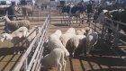 Koyun kuzu sesleri videosu inek tosun boğa videosu sesleri