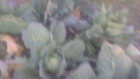Lahana faydaları lahana beyaz lahana faydaları yararları nelerdir