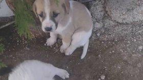 Minik köpek yavruları 1aylik sevimli kopek yavruları kopek sesleri