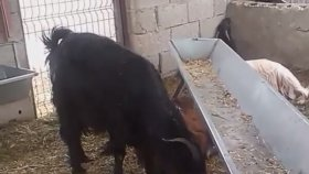 Keçi yavruları yavru oğlakların sesleri videoları oğlakların sesleri sevimli yavru oğlakların sesi