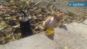 Canlı kedi sesleri kedi miyavlaması AC kediler miyavlaması kedi sesleri videoları sesleri