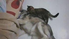 Köpeğin Vücuduna Yapışıp Kalan Arızalı Kedi