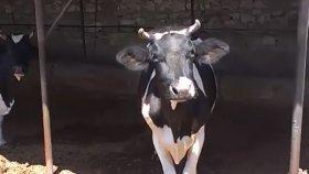 Canlı Hollanda ırkı ineklerin sesleri serçe kuşları sesleri videolar Hollanda ırkı süt inekler