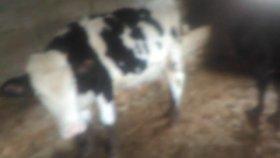 Canlı Hollanda ırkı ineklerin videolar kara ineklerin videolar horoz tavuk sesleri videolar