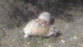 Kaplumbağa tokusmasi kaplumbağa düelloları kaplumbağa düelloları sesleri videoları