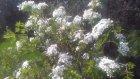 Alıç ağacı çiçeği faydaları çayının yararları nelerdir alıç çiçeği faydaları çayının yararları neler