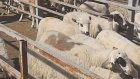 Merinos koyun kuzulari sesleri inek tosun videosu sesleri koyun kuzu sesleri videosu