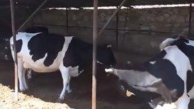 canlı hollanda ırkı süt ineklerin sesleri videoları serçe kuşları sesleri izle