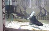 yamyam akvaryum köpekbalığı