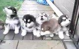 yavru köpek senfoni orkenstrası :)