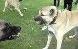 Kangal Topuz Çoban Köpeği