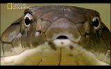 vahşi yaşam - kral kobra