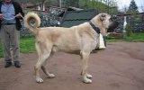 çiftehanın en buyük köpeği