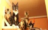 komik kediler [aynı anda hareket ederlerse]