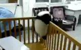 Küçük Pandanin Kaçma Gayretleri