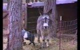 Firar eden keçiye eşek yardımı