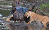 Aslanla Timsahın Yemek Savaşı