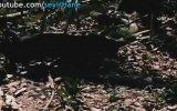 Siyah Jaguar Dev Anakondayı Öldürene Kadar Bırakmıyor