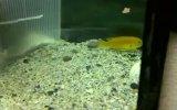 Sarı Prenses Yellow Cichlid'ın Kuluçkalaması